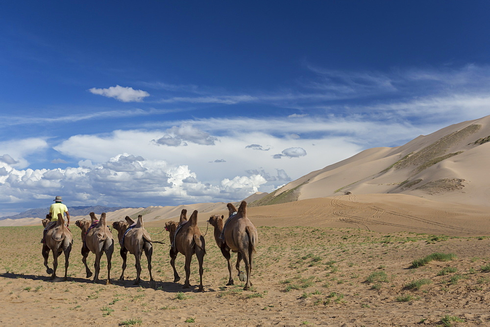 Bactrian camel train along base of huge sand dunes, blue skies on a summer evening, Khongoryn Els, Gobi Desert, Mongolia, Central Asia, Asia