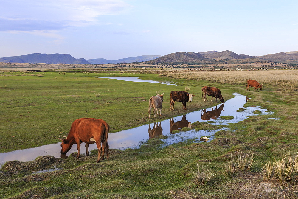 Cows reflected in a small pool, grass and mountains, evening, Khogno Khan Uul Nature Reserve, Gurvanbulag, Bulgan , Mongolia, Central Asia, Asia