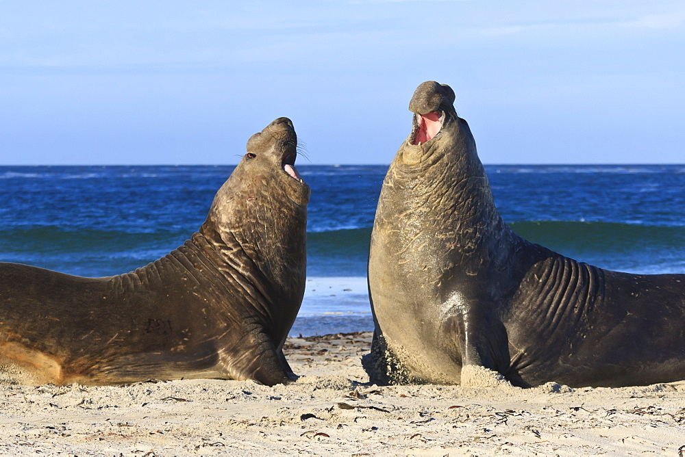 Two southern elephant seal (Mirounga leonina) bulls rear up to establish dominance, Sea Lion Island, Falkland Islands, South America