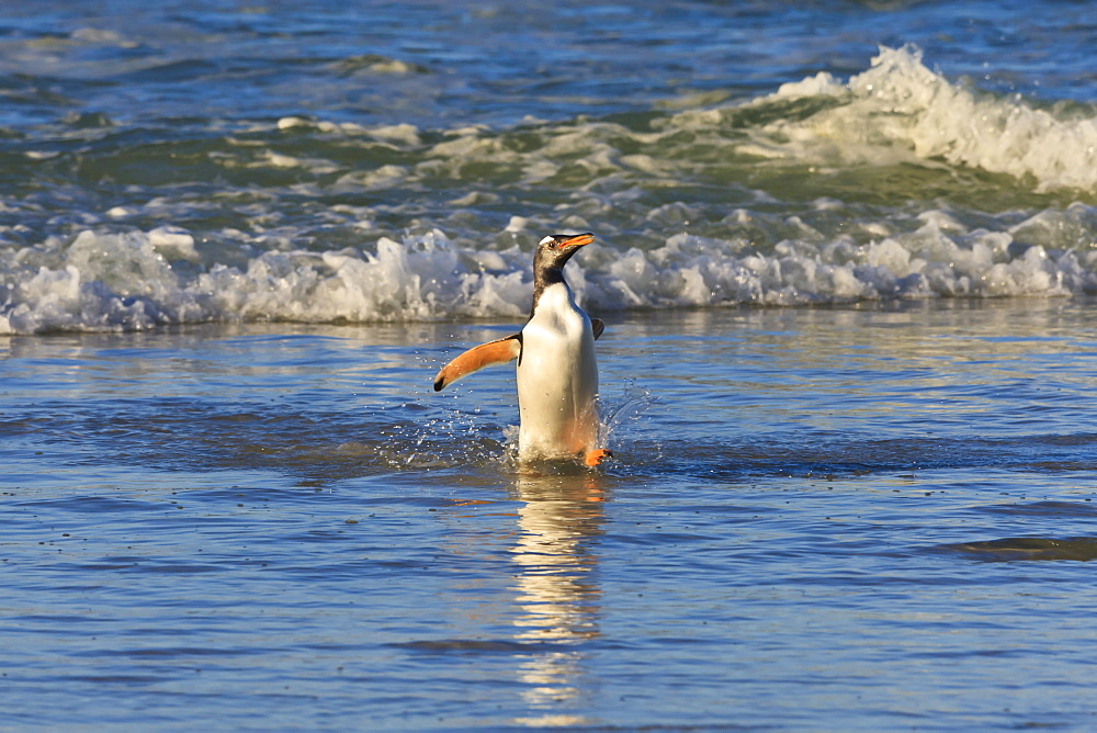 Gentoo penguin (Pygoscelis papua) emerges from the sea in late afternoon light, The Neck, Saunders Island, Falkland Islands, South America