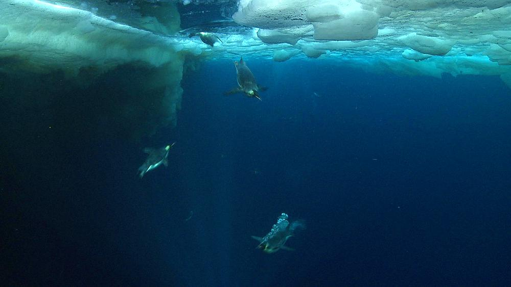 Emperor penguins (Aptenodytes forsteri) swimming near the ice edge and diving, some bubble trails, underwater, Cape Washington, Antarctica - 1169-103