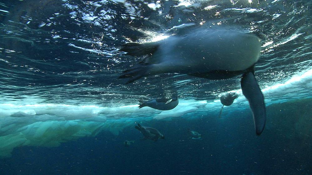 Emperor penguins (Aptenodytes forsteri) swimming and preening in hole in sea ice, underwater, Cape Washington, Antarctica