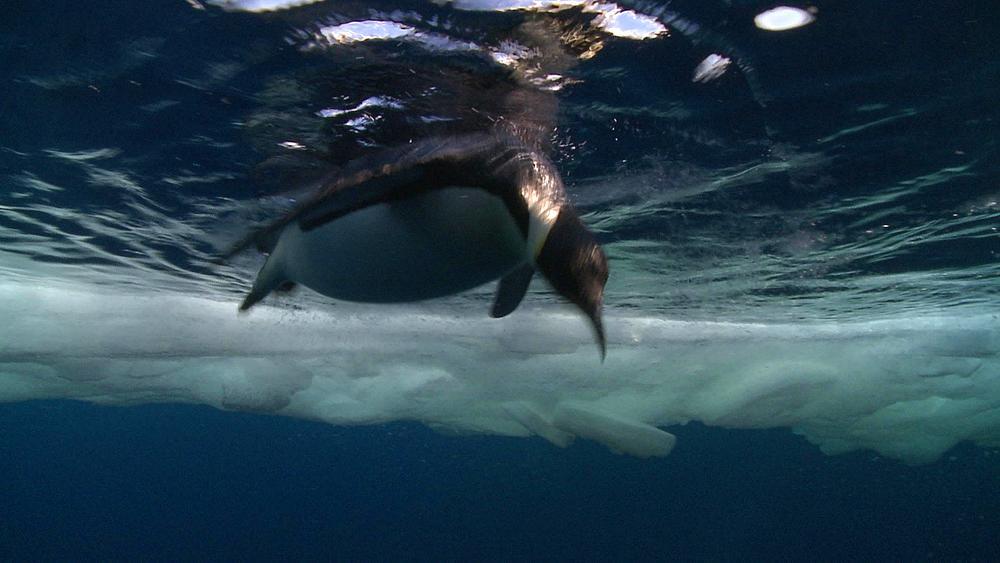 Emperor penguin (Aptenodytes forsteri) swimming at surface and preening, underwater, Cape Washington, Antarctica