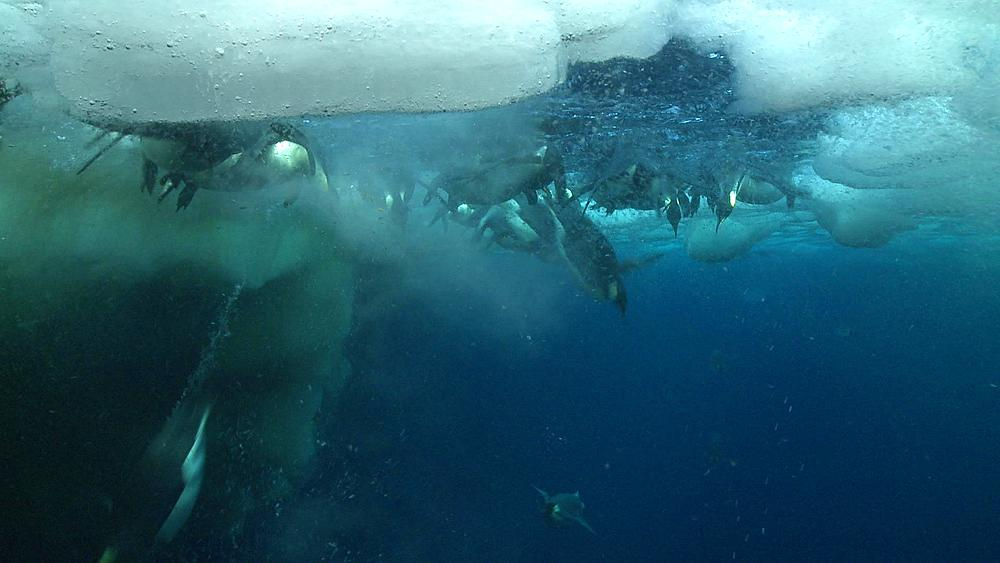 Emperor penguins (Aptenodytes forsteri) swimming near the ice edge, surfacing and diving, some bubble trails, underwater, Cape Washington, Antarctica - 1169-142