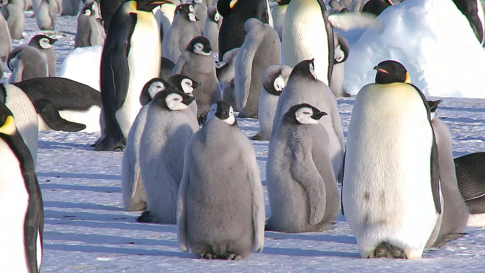 Emperor penguins (Aptenodytes forsteri), chicks and adults at colony, Cape Washington, Antarctica - 1169-16