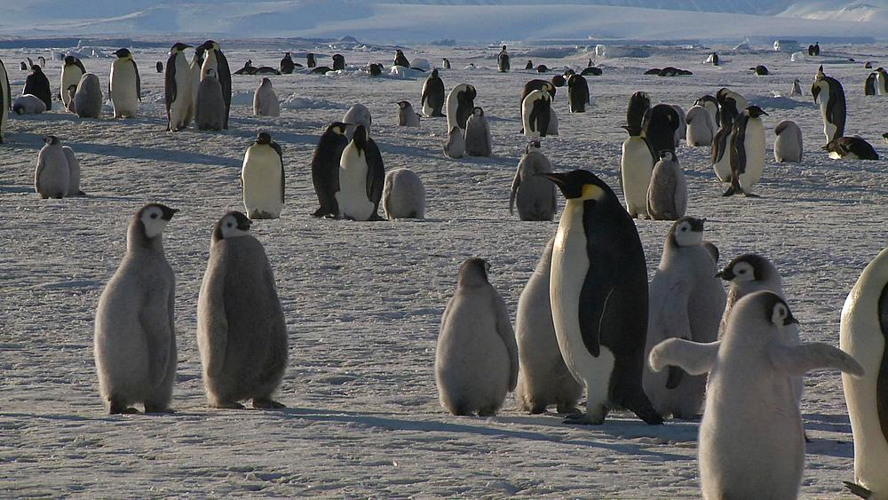 Emperor penguins (Aptenodytes forsteri), chicks and adults at colony in creche, Cape Washington, Antarctica - 1169-160