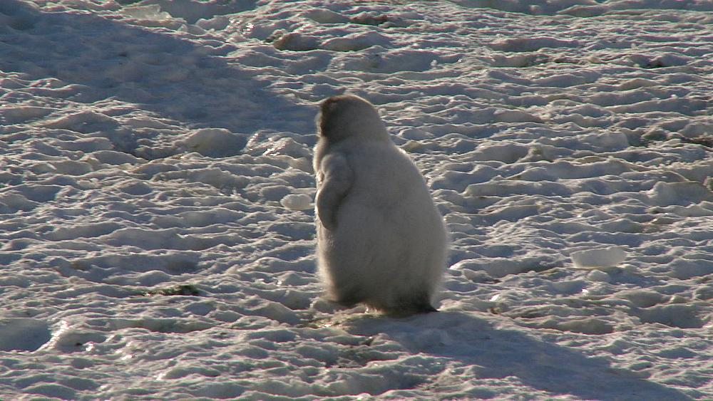 Emperor penguin (Aptenodytes forsteri), small chick defecates then walks on ice, Cape Washington, Antarctica - 1169-164