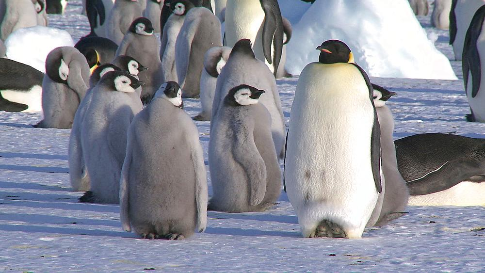 Emperor penguins (Aptenodytes forsteri), chicks and adults at colony, Cape Washington, Antarctica - 1169-17