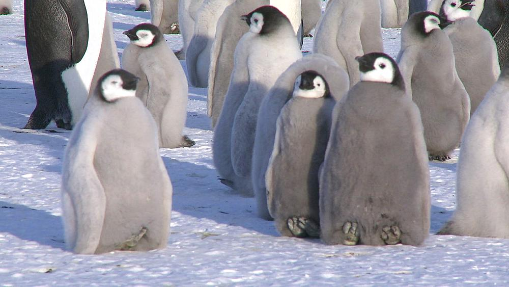 Emperor penguins (Aptenodytes forsteri), chicks at colony, Cape Washington, Antarctica - 1169-18