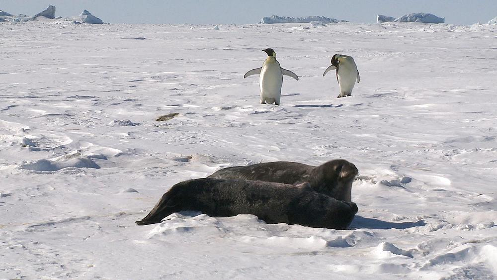 Weddell seal (Leptonychotes weddellii) and pup on snow with emperor penguins behind, Cape Washington, Antarctica - 1169-188