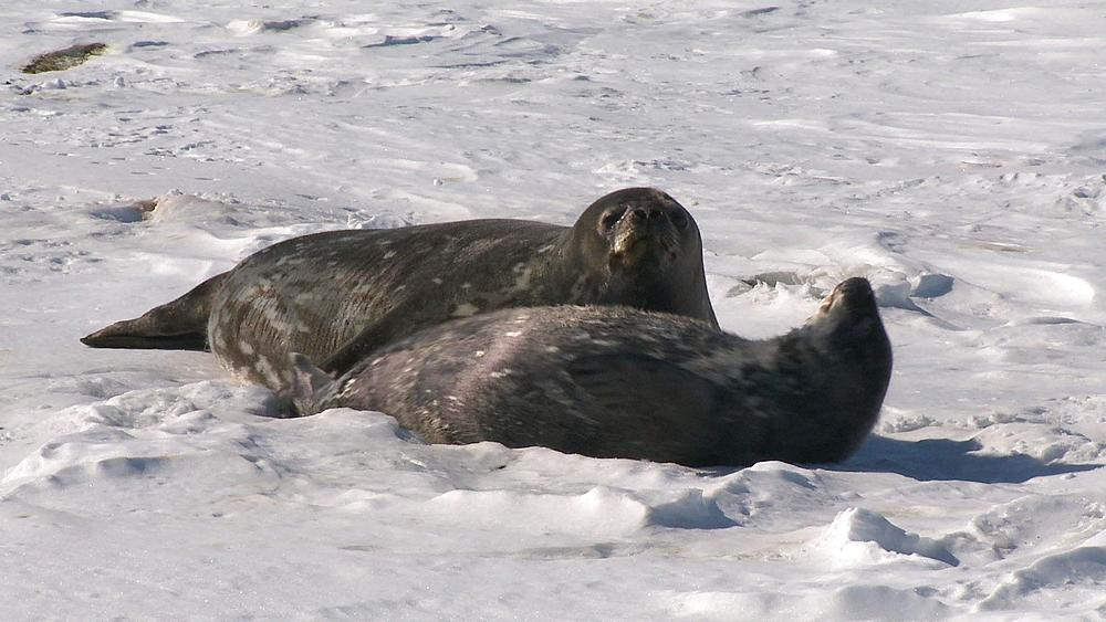 Weddell seal (Leptonychotes weddellii) and pup on snow, Cape Washington, Antarctica - 1169-190