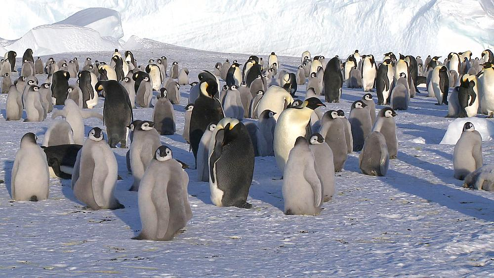 Emperor penguins (Aptenodytes forsteri), chicks and adults at colony in creche, Cape Washington, Antarctica - 1169-21