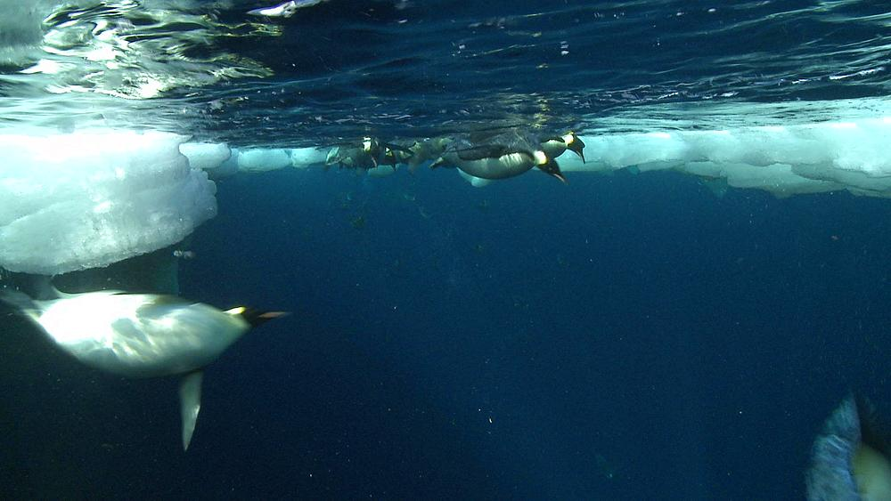 Emperor penguins (Aptenodytes forsteri) swimming at surface and looking into the depths, diving, underwater, Cape Washington, Antarctica - 1169-220