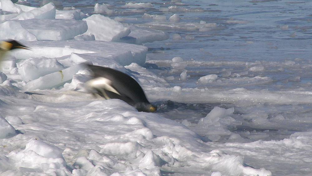 Emperor penguins (Aptenodytes forsteri) sliding across ice to enter hole in sea ice, Cape Washington, Antarctica - 1169-228