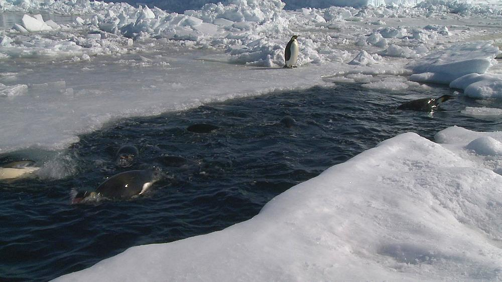 Emperor penguins (Aptenodytes forsteri) surfacing and preening in hole in sea ice, one slides into water, Cape Washington, Antarctica