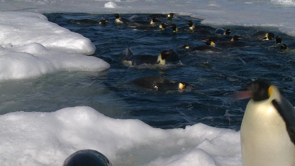 Emperor penguins (Aptenodytes forsteri) surfacing in hole in sea ice, exiting water to camera, Cape Washington, Antarctica - 1169-236