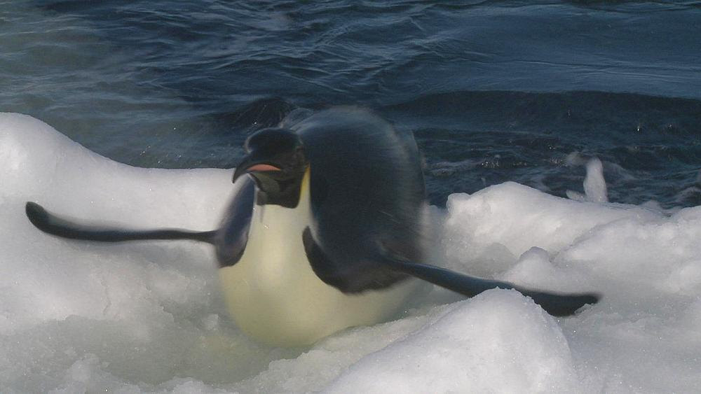 Emperor penguins (Aptenodytes forsteri) exiting water to camera, Cape Washington, Antarctica - 1169-237