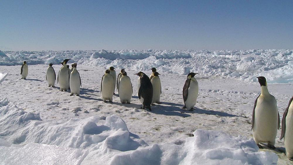 Emperor penguins (Aptenodytes forsteri) waddling across snow and ice (in sort of line), Cape Washington, Antarctica - 1169-243