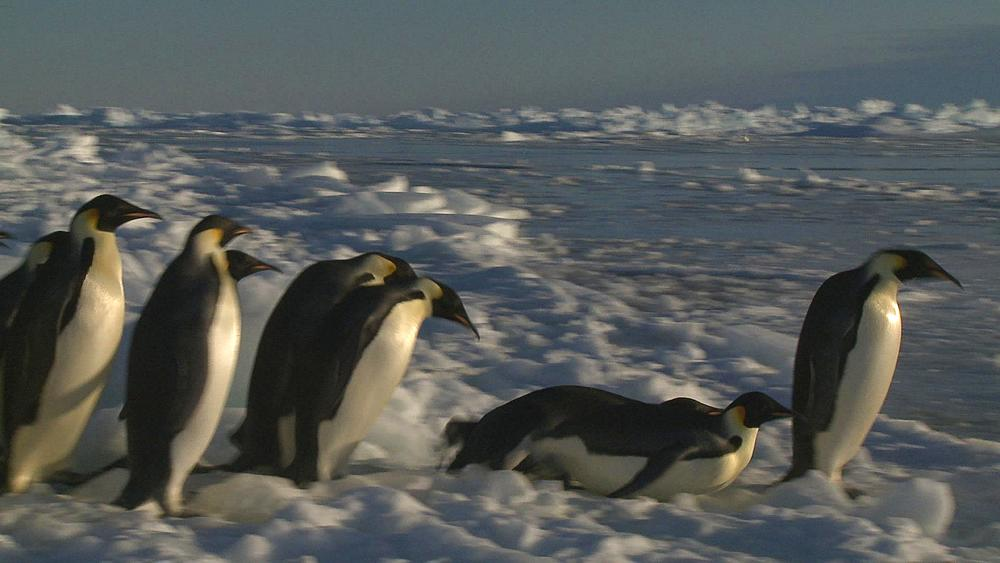 Emperor penguins (Aptenodytes forsteri) waiting in group on ice then slide to enter hole in sea ice, Cape Washington, Antarctica - 1169-260