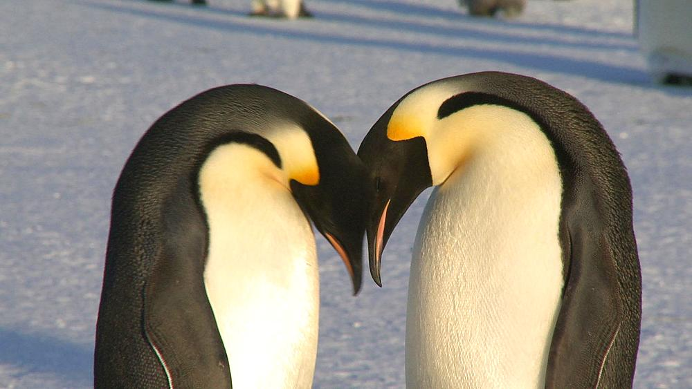 Emperor penguins (Aptenodytes forsteri), adults display at colony with chick, Cape Washington, Antarctica - 1169-269