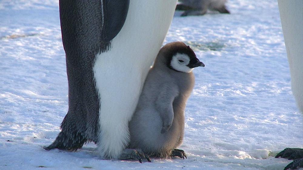 Emperor penguin (Aptenodytes forsteri), chick backs on to adult's feet, Cape Washington, Antarctica
