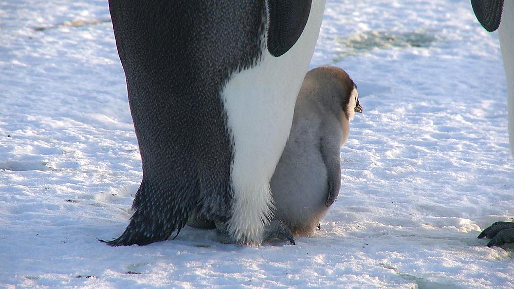 Emperor penguin (Aptenodytes forsteri), chick on adult's feet, Cape Washington, Antarctica