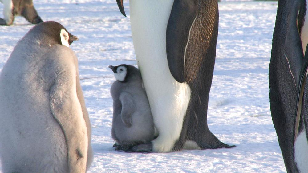 Emperor penguin (Aptenodytes forsteri), small chick on parent's feet, focus, Cape Washington, Antarctica