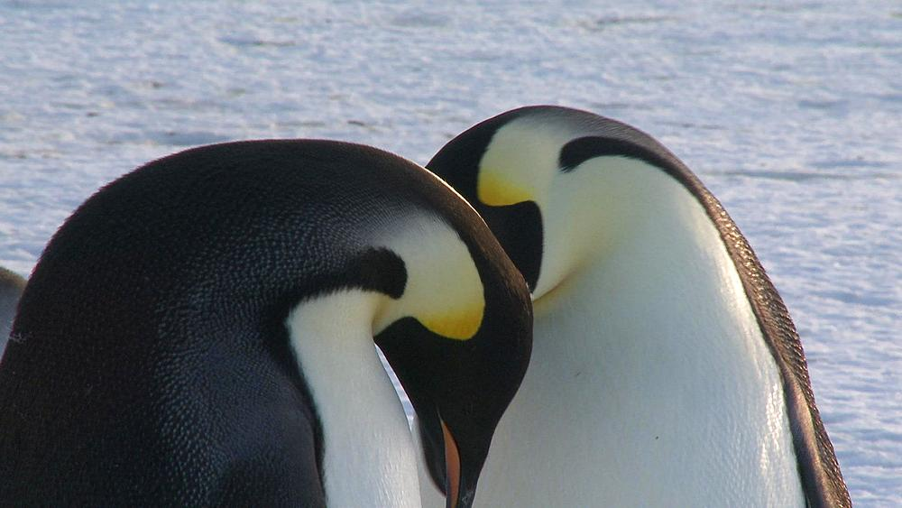 Emperor penguins (Aptenodytes forsteri), adults display at colony with chick, Cape Washington, Antarctica - 1169-289