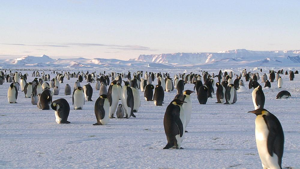 Emperor penguin (Aptenodytes forsteri) colony, Cape Washington, Antarctica - 1169-291