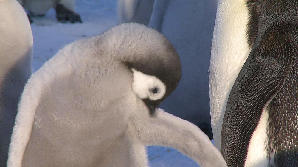 Emperor penguins (Aptenodytes forsteri), chick preens at colony, Cape Washington, Antarctica