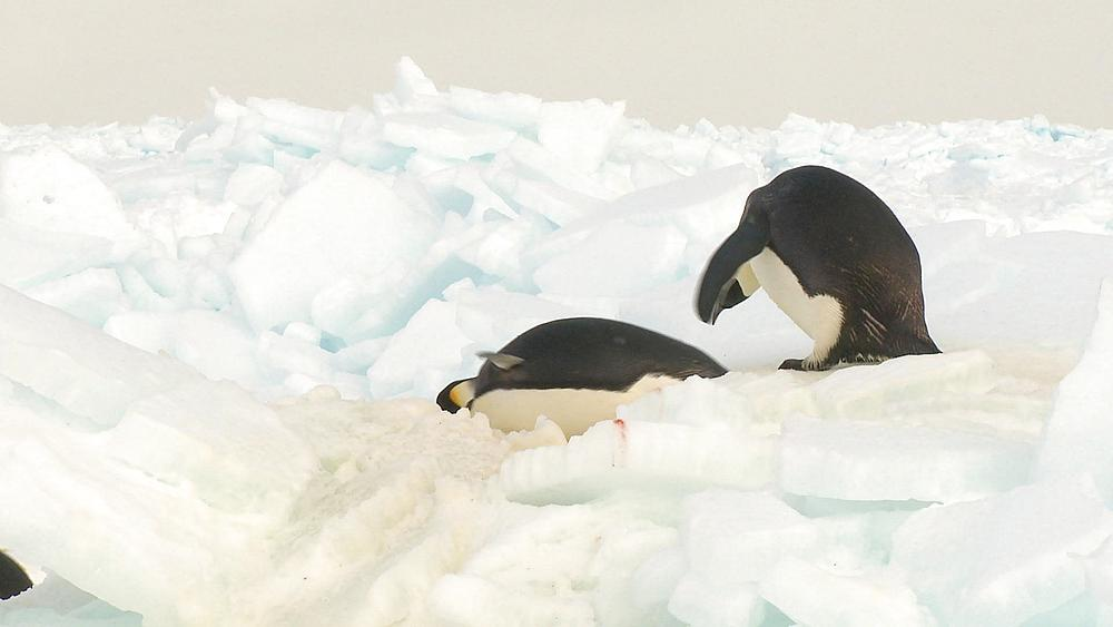 Emperor penguins (Aptenodytes forsteri) waddling and sliding across ice, Cape Washington, Antarctica - 1169-313