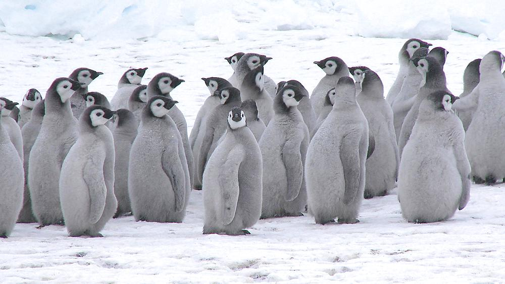 Emperor penguin (Aptenodytes forsteri), chicks at creche, Cape Washington, Antarctica - 1169-321
