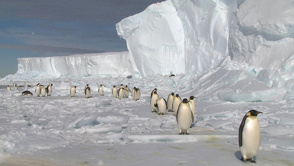 Emperor penguins (Aptenodytes forsteri) waddling in long line across ice, Cape Washington, Antarctica - 1169-336