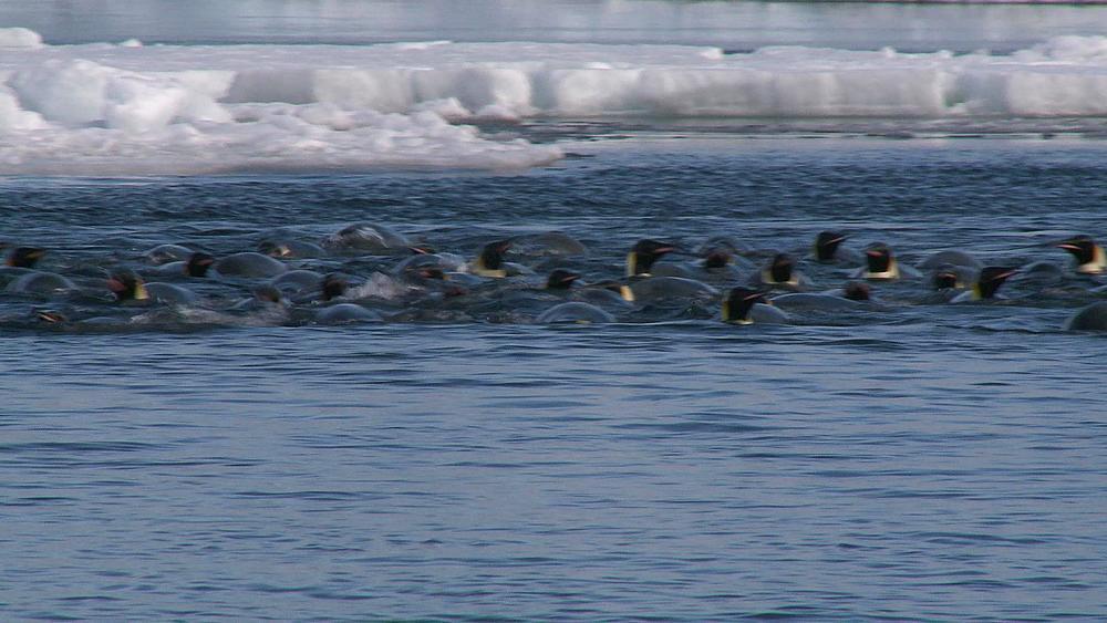 Emperor penguins (Aptenodytes forsteri) swimming and preening at wide ice hole, Cape Washington, Antarctica