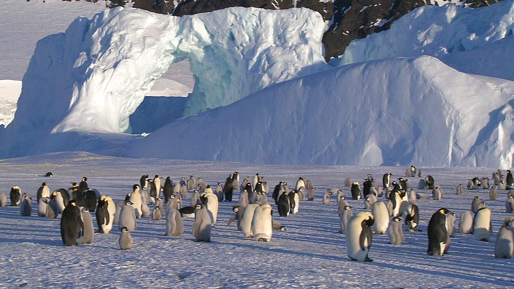 Emperor penguins (Aptenodytes forsteri), chicks and adults at colony in creche, Cape Washington, Antarctica - 1169-37