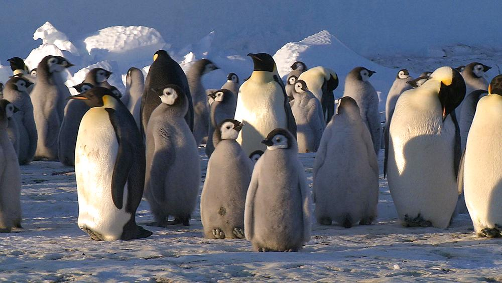 Emperor penguins (Aptenodytes forsteri), chicks and adults at colony in creche, Cape Washington, Antarctica - 1169-40