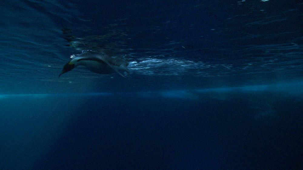 Emperor penguins (Aptenodytes forsteri) preening at surface, underwater, Cape Washington, Antarctica