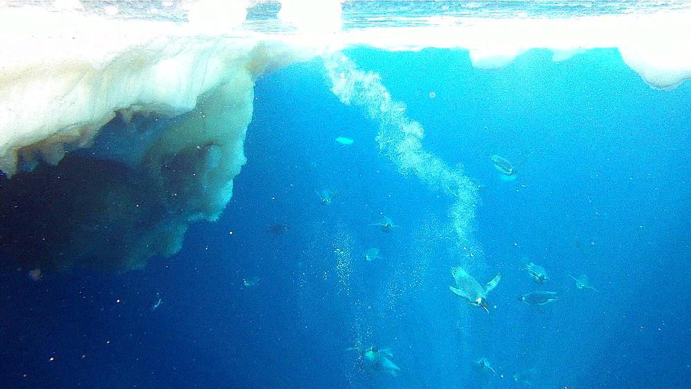 Emperor penguins (Aptenodytes forsteri) swimming under camera, some exit water, underwater, Cape Washington, Antarctica - 1169-429