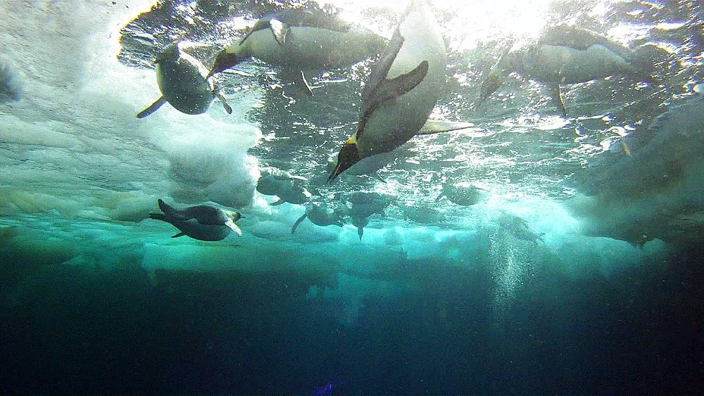 Emperor penguins (Aptenodytes forsteri) diving from sea ice hole, underwater, Cape Washington, Antarctica - 1169-444