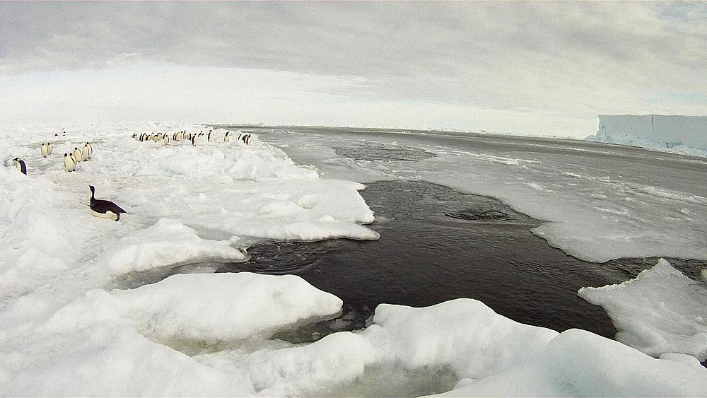 Emperor penguin (Aptenodytes forsteri) exiting water, Cape Washington, Antarctica - 1169-455