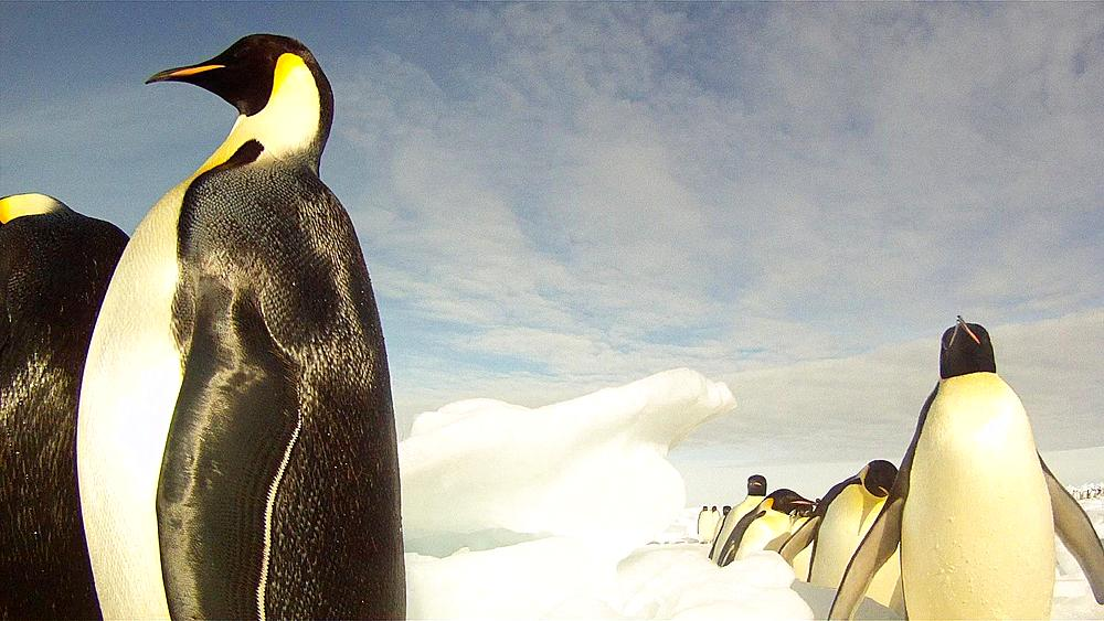 Emperor penguins (Aptenodytes forsteri) waddling past camera, tracking, Cape Washington, Antarctica - 1169-462