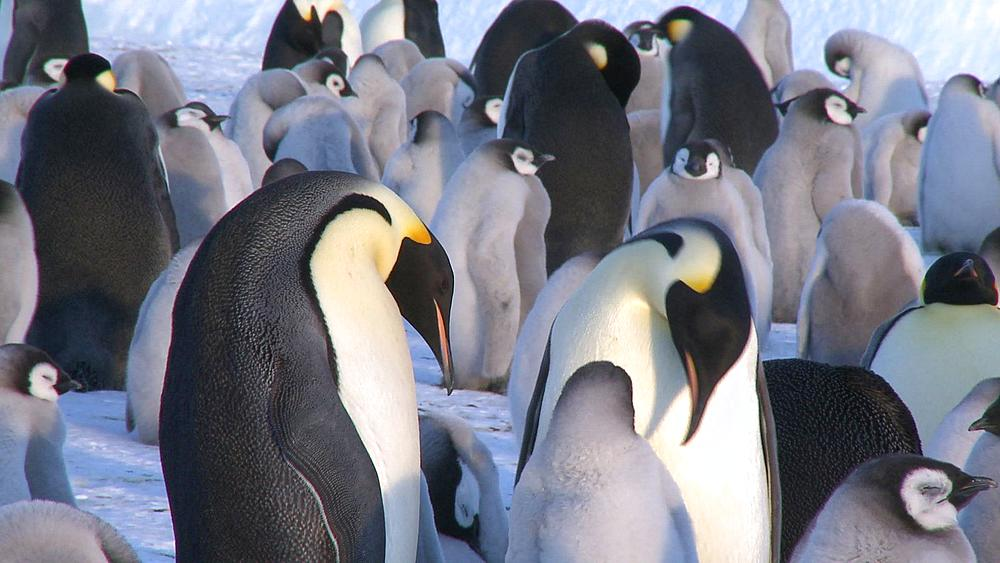 Emperor penguins (Aptenodytes forsteri), adult pair display at colony, chick in attendance, Cape Washington, Antarctica - 1169-55