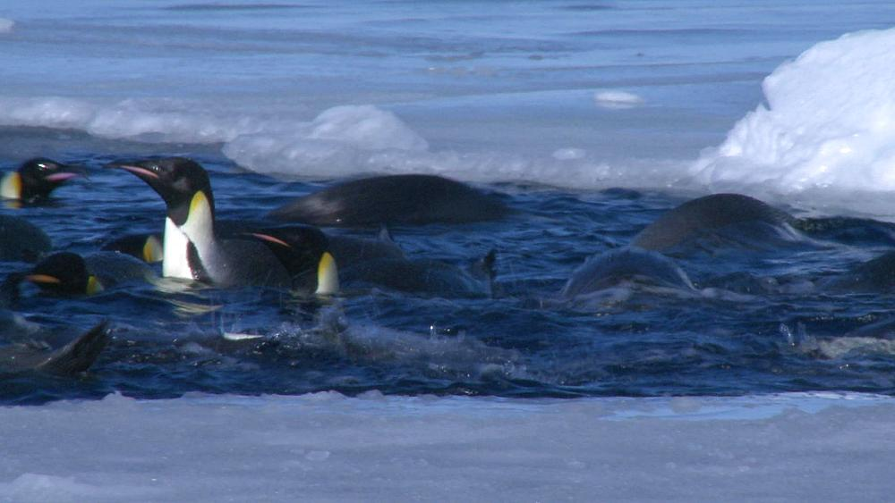 Emperor penguins (Aptenodytes forsteri) swimming and preening in hole in sea ice, Cape Washington, Antarctica - 1169-60