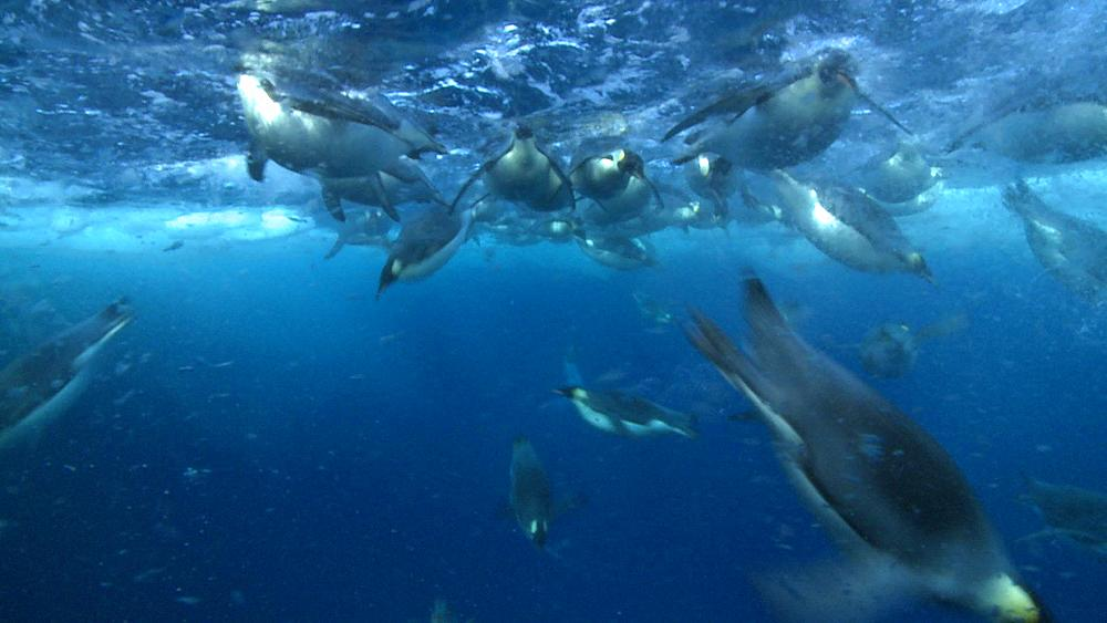 Emperor penguins (Aptenodytes forsteri) swimming under sea ice and diving from surface - underwater  - 1169-78