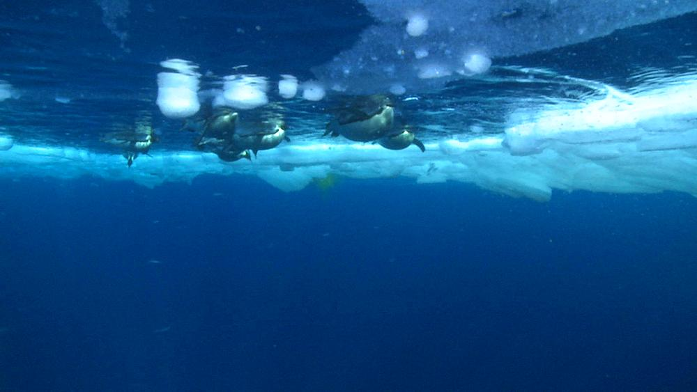 Emperor penguins (Aptenodytes forsteri) swimming at surface and diving, underwater, Cape Washington, Antarctica - 1169-82