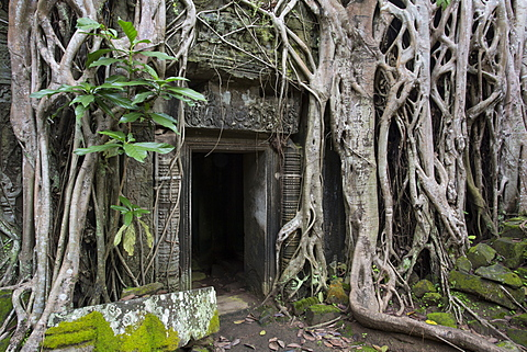 Temple overgrown by strangler fig tree roots over entrance, Ta Prohm Temple, Angkor, UNESCO World Heritage Site, Siem Reap, Cambodia, Indochina, Southeast Asia, Asia - 1170-188