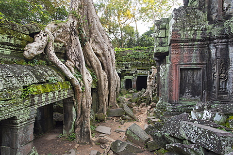 Temple overgrown by jungle, Tetrameles nudiflora tree with roots, Ta Prohm Temple, Angkor, UNESCO World Heritage Site, Siem Reap, Cambodia, Indochina, Southeast Asia, Asia - 1170-189