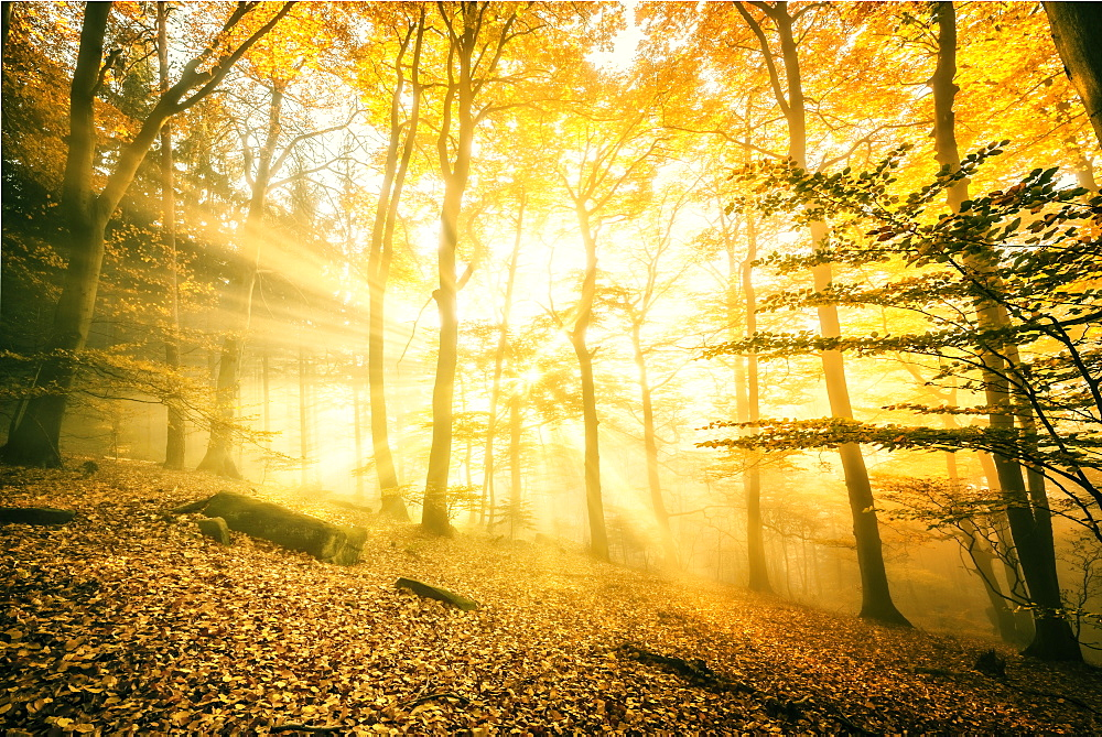Otherworldly golden light rays permeating dense mist in a forest, Heidelberg area, Baden-Wurttemberg, Germany, Europe - 1171-219