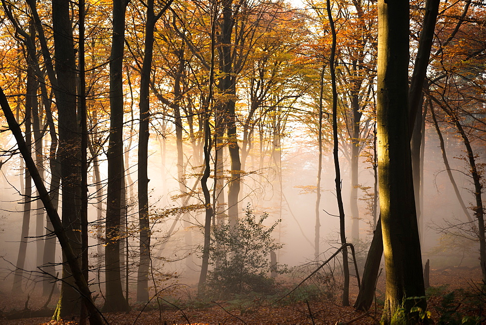 Ascending fog bank mixing in with warm afternoon sunlight in a forest, Heidelberg area, Baden-Wurttemberg, Germany, Europe - 1171-222