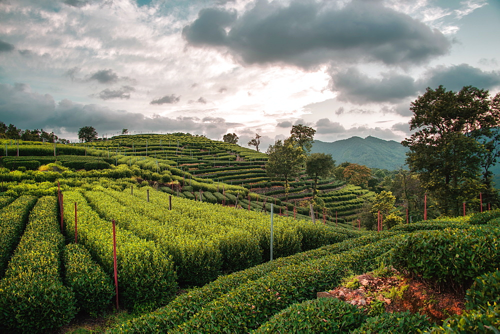 Longjing Tea fields in the hills near West Lake, Hangzhou, Zhejiang, China, Asia